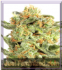 Dutch Passion Orange Hill Special Female 10 Seeds